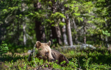 Brown bear in the summer forest. Natural habitat. Scientific name: Ursus Arctos. Green natural background.