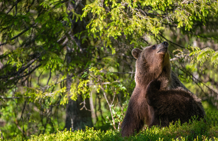 The bear itched. Brown bear sitting  in the summer forest. Natural habitat. Scientific name: Ursus Arctos. Archivio Fotografico