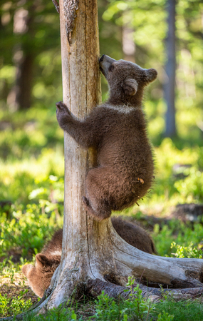 Brown bear cub climbs a tree. Natural habitat. In Summer forest. Sceintific name: Ursus arctos. Banque d'images