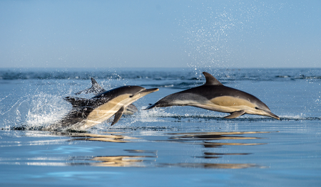 Dolphins in the ocean. Dolphins swim and jumping out of water. The Long-beaked common dolphin. Scientific name: Delphinus capensis. False Bay. South Africa. Foto de archivo