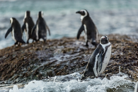 African penguins on the boulder in evening twilight. African penguin,Scientific name: Spheniscus demersus, also known as the jackass penguin and black-footed penguin. Boulders colony. South Africa. Stock fotó