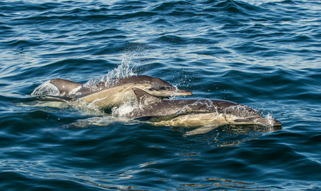 Dolphins in the ocean. Dolphins swim and jumping out of water. The Long-beaked common dolphin. Scientific name: Delphinus capensis. False Bay. South Africa. Stock Photo