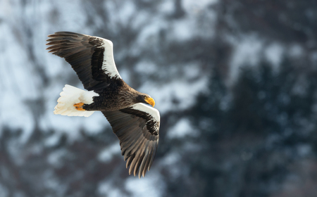 Adult Steller's sea eagle in flight. Winter Mountain background. Scientific name: Haliaeetus pelagicus. Natural Habitat. Winter Season.