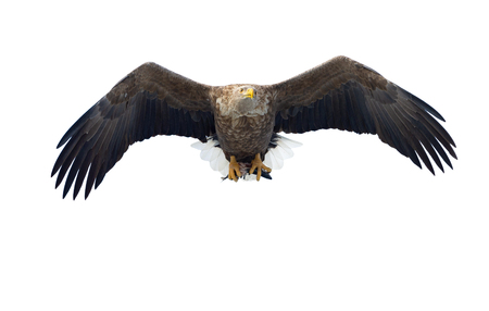 Adult White-tailed eagle with fish in flight. Isolated on White background. Scientific name: Haliaeetus albicilla, the ern, erne, gray eagle, Eurasian sea eagle and white-tailed sea-eagle.