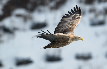 Adult White tailed eagle in flight. On Winter background. Scientific name: Haliaeetus albicilla, the ern, erne, gray eagle, Eurasian sea eagle and white-tailed sea-eagle. Winter season.