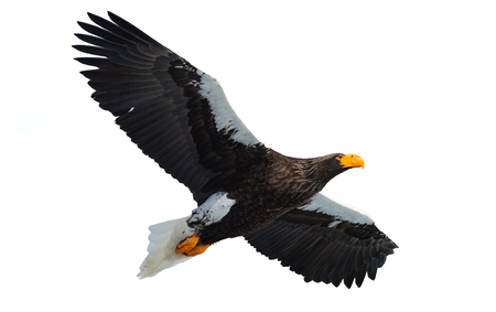 Adult Steller's sea eagle in flight. Isolated on White background. Scientific name: Haliaeetus pelagicus. Natural Habitat. Winter Season.
