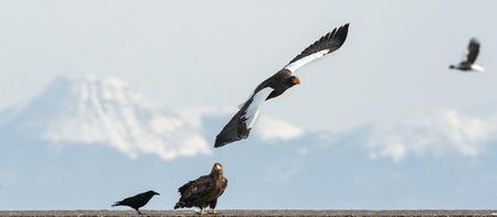 Adult Stellers sea eagle, White tailed sea eagle and raven. Winter Mountain background.  Natural Habitat. Winter Season. Stock Photo