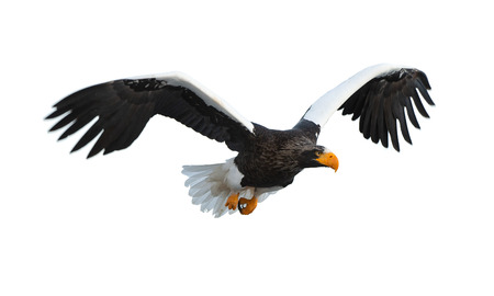 Adult Steller's sea eagle in flight.  Scientific name: Haliaeetus pelagicus. Isolated on white background.