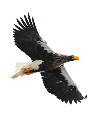Adult Steller's sea eagle in flight.  Scientific name: Haliaeetus pelagicus. Isolated on white background.