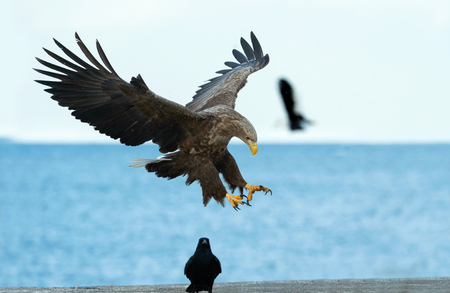 Adult White tailed eagle in flight. Blue sky and ocean background. Scientific name: Haliaeetus albicilla, also known as the ern, erne, gray eagle, Eurasian sea eagle and white tailed sea-eagle Stock Photo