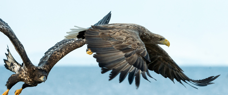 Adult White tailed eagles in flight. Blue sky and ocean background. Scientific name: Haliaeetus albicilla, also known as the ern, erne, gray eagle, Eurasian sea eagle and white tailed sea-eagle 版權商用圖片