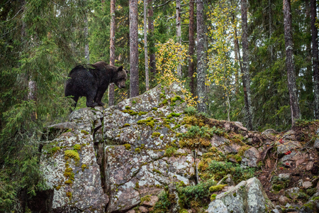 Bear  on a rocks.  A brown bear in the autumn forest. Adult Big Brown Bear Male. Scientific name: Ursus arctos. Banco de Imagens