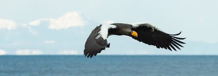 Adult Steller's sea eagle in flight. Scientific name: Haliaeetus pelagicus. Blue ocean, snow-covered mountain  and blue sky  background.