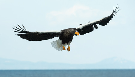 Adult Steller's sea eagle in flight.  Scientific name: Haliaeetus pelagicus. Blue sky background. 版權商用圖片