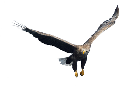White-tailed eagle in flight. Front view. Isolated on White background. Scientific name: Haliaeetus albicilla, also known as ern, erne, gray eagle, Eurasian sea eagle and white-tailed sea-eagle