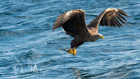 Adult White-tailed eagles fishing. Blue Ocean Background. Scientific name: Haliaeetus albicilla, also known as the ern, erne, gray eagle, Eurasian sea eagle and white-tailed sea-eagle. Natural habitat Stock Photo