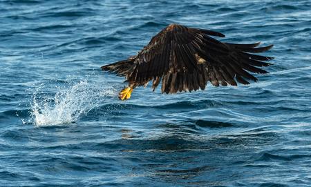 Juvenile White-tailed eagle fishing.  Ocean Background. Scientific name: Haliaeetus albicilla, also known as the ern, erne, gray eagle, Eurasian sea eagle and white-tailed sea-eagle. Natural Habitat.