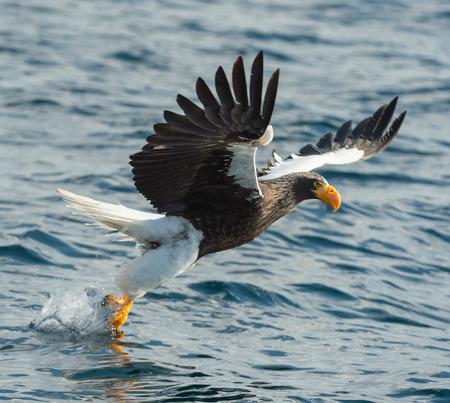 Adult Steller's sea eagle fishing. Scientific name: Haliaeetus pelagicus. Blue ocean background. Natural Habitat.