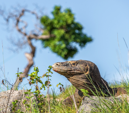 Close up Portrait of Komodo dragon. Dragon sniffs the air with his forked tongue.In natural habitat. Scientific name: Varanus komodoensis. Natural background is Landscape of Island Rinca. Indonesia Stock Photo