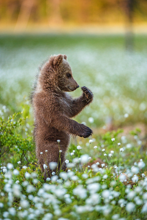 Brown bear cub stands on its hind legs.  Scientific name: Ursus arctos. White flowers on the bog in the summer forest. Stock Photo
