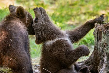 Brown Bear Cubs playfully fighting, Scientific name: Ursus Arctos Arctos. Summer green forest background. Natural habitat. Banque d'images