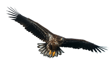 Juvenile White-tailed eagle in flight. Isolated on White background. Scientific name: Haliaeetus albicilla, also known as the ern, erne, gray eagle, Eurasian sea eagle and white-tailed sea-eagle. Stock Photo
