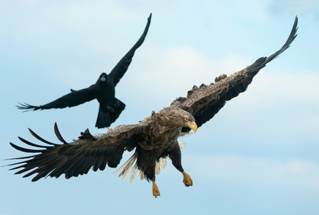 Raven and  White tailed eagle in flight.  Scientific name: Haliaeetus albicilla, also known as the ern, erne, gray eagle, Eurasian sea eagle and white-tailed sea-eagle.