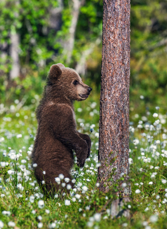 Brown bear cub stands on its hind legs.  Natural habitat. Summer forest. Sceintific name: Ursus arctos. Banco de Imagens