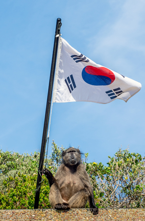 Baboon with South Korea flag on blue sky background. The Chacma baboon (Papio ursinus), also known as the Cape baboon.