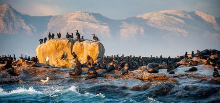 Sunrise at Seal Island. South African (Cape) fur seals  (Arctocephalus pusillus pusillus), Colony of cape fur seals. False Bay, Western Cape, South Africa, Africa.
