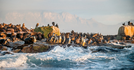 African Penguins on Seal Island. Seals colony on the background. African penguin, Spheniscus demersus, also known as the jackass penguin and black-footed penguin. False Bay. South Africa.