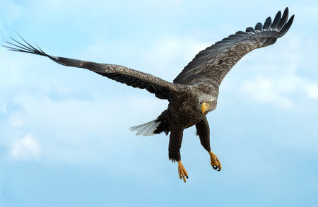 Adult White-tailed eagle in flight. Front view. Blue sky background. Scientific name: Haliaeetus albicilla, also known as the ern, erne, gray eagle, Eurasian sea eagle and white-tailed sea-eagle. Stock Photo