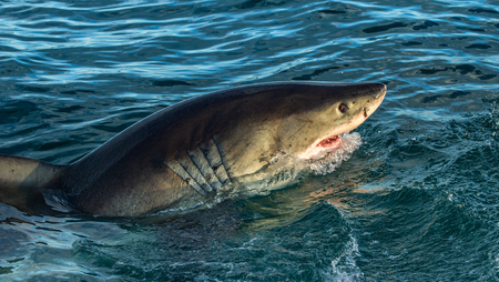 Great white shark with open mouth in ocean.  Great White Shark in attack. Scientific name: Carcharodon carcharias. South Africa.