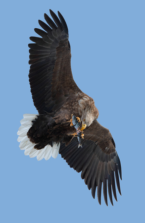 Adult White-tailed eagle with fish in flight. Blue sky background. Scientific name: Haliaeetus albicilla, the ern, erne, gray eagle, Eurasian sea eagle and white-tailed sea-eagle. 版權商用圖片
