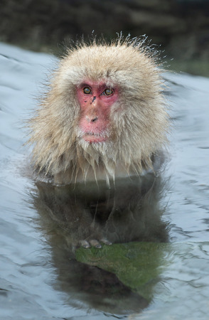 Snow monkey. The Japanese macaque ( Scientific name: Macaca fuscata), also known as the snow monkey. 스톡 콘텐츠 - 113402635