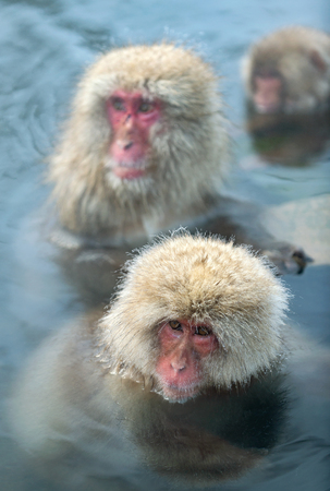 Japanese macaques in the water of natural hot springs. The Japanese macaque (Scientific name: Macaca fuscata), also known as the snow monkey. Natural habitat, winter season. 免版税图像