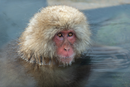 Snow monkey in the water of natural hot springs. The Japanese macaque ( Scientific name: Macaca fuscata), also known as the snow monkey. Natural habitat, winter season. 免版税图像