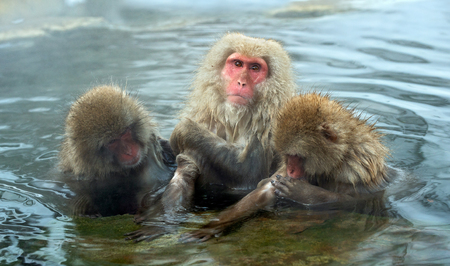 Japanese macaques in the water of natural hot springs. The Japanese macaque ( Scientific name: Macaca fuscata), also known as the snow monkey. Natural habitat, winter season.