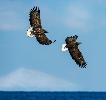 White tailed eagles in flight. Sky background. Scientific name: Haliaeetus albicilla, also known as the ern, erne, gray eagle, Eurasian sea eagle and white-tailed sea-eagle.