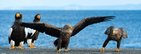 Adult White-tailed eagle is landing. Scientific name: Haliaeetus albicilla, also known as the ern, erne, gray eagle, Eurasian sea eagle and white-tailed sea-eagle. Stock Photo
