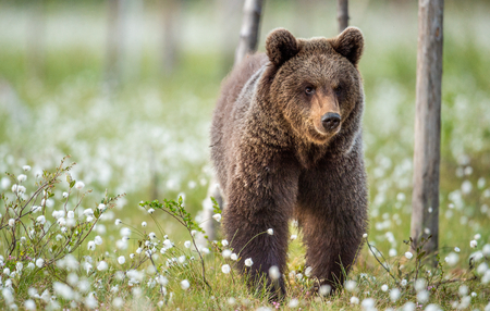 Brown bear in the summer forest on the bog among white flowers. Front view. Natural Habitat. Brown bear, scientific name: Ursus arctos. Summer season. Banque d'images - 114496172