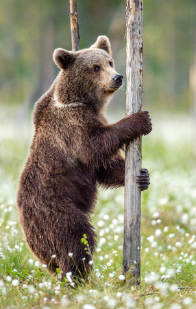 Brown bear standing on his hind legs in the summer forest among white flowers. Front view. Natural Habitat. Brown bear, scientific name: Ursus arctos. Summer season.