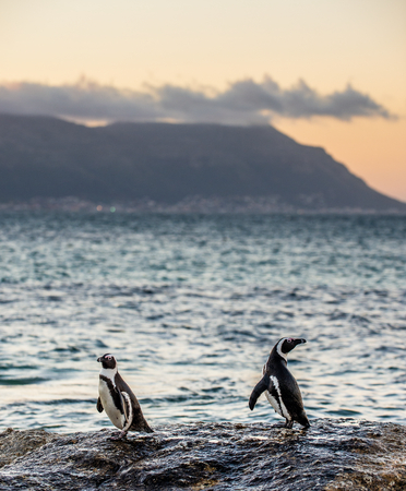 The African penguins on the stony shore in twilight evening with sunset sky. Scientific name: Spheniscus demersus, jackass penguin or black-footed penguin. Natural habitat. South Africa