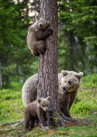 Brown bear cubs climbs a tree. She-bear and cubs in the summer forest. Brown bear. Scientific name: Ursus arctos. Summer season, natural habitat. Reklamní fotografie