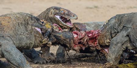 The dragons tore prey. The Komodo dragon, Scientific name: Varanus komodoensis, is the biggest living lizard in the world. Natural Habitat. On island Rinca. Indonesia. Stock Photo