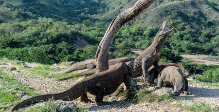 Komodo dragons. The Komodo dragon raised the head and open a mouth. Biggest living lizard in the world. Scientific name: Varanus komodoensis. Natural habitat, Island Rinca. Indonesia.