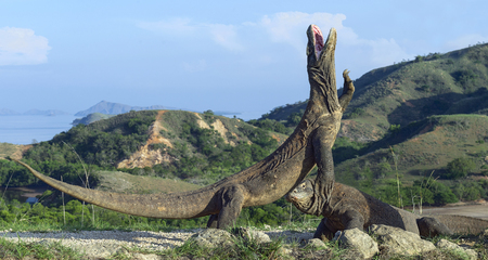 The Komodo dragon (Varanus komodoensis) stands on its hind legs and open mouth. It is the biggest living lizard in the world. On island Rinca. Indonesia. Stock Photo