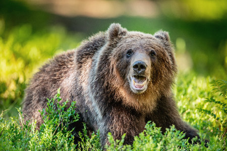 Close up portrait of Brown bear in the summer forest at sunny day. Green forest natural background. Scientific name: Ursus arctos.