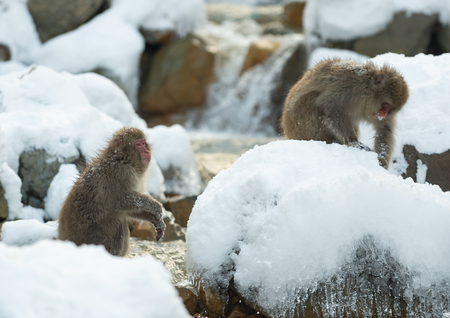 Japanese macaque in jump. Macaque jumps through a natural hot spring. Winter season. The Japanese macaque, Scientific name: Macaca fuscata, also known as the snow monkey. 写真素材