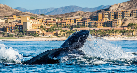 Tail fin of the mighty humpback whale (Megaptera novaeangliae). Blue ocean background. Reklamní fotografie